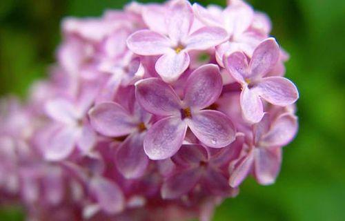 Lilacsunday